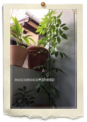 HERBSTORYエルダーフラワーコーディアルコーディアルyossy宅エルダーフラワー鉢植え